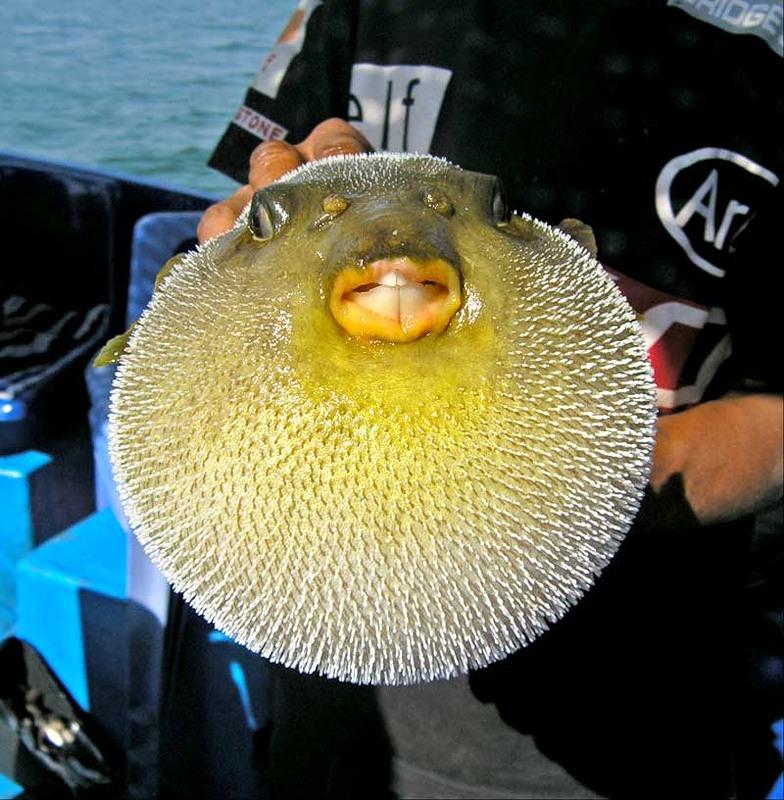 Интересно рыба шар факты сова