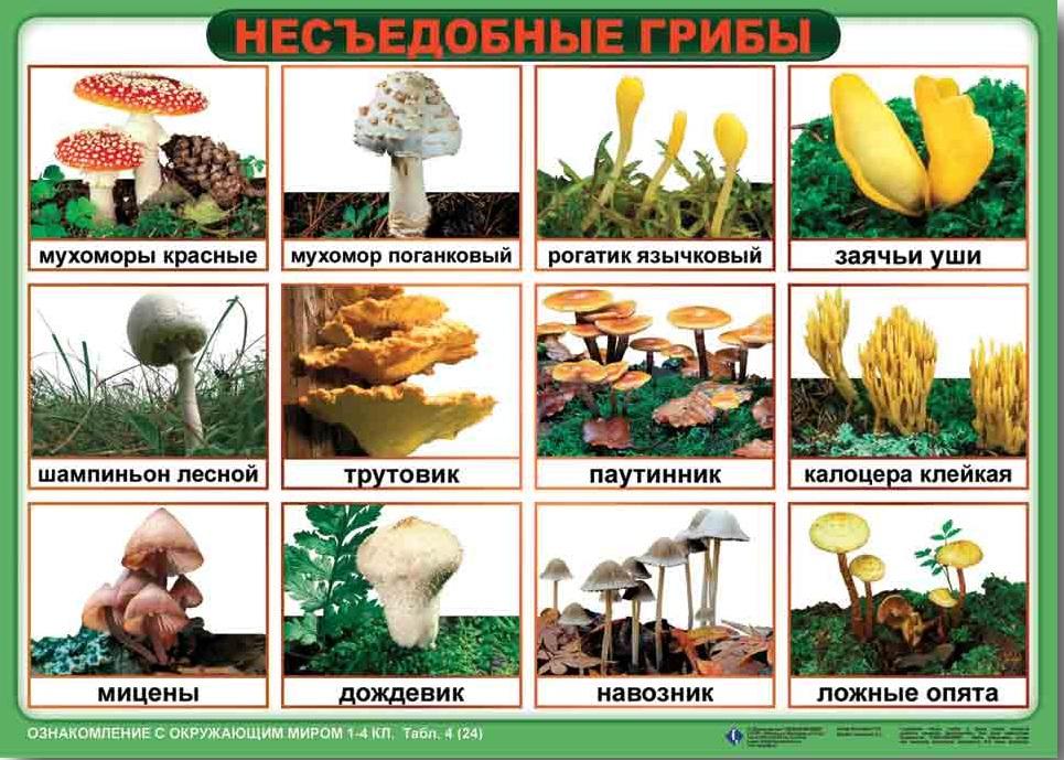Съедобные грибы - названия, каталог