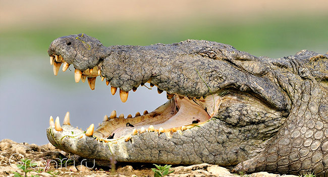 crocodylus_palustris_4