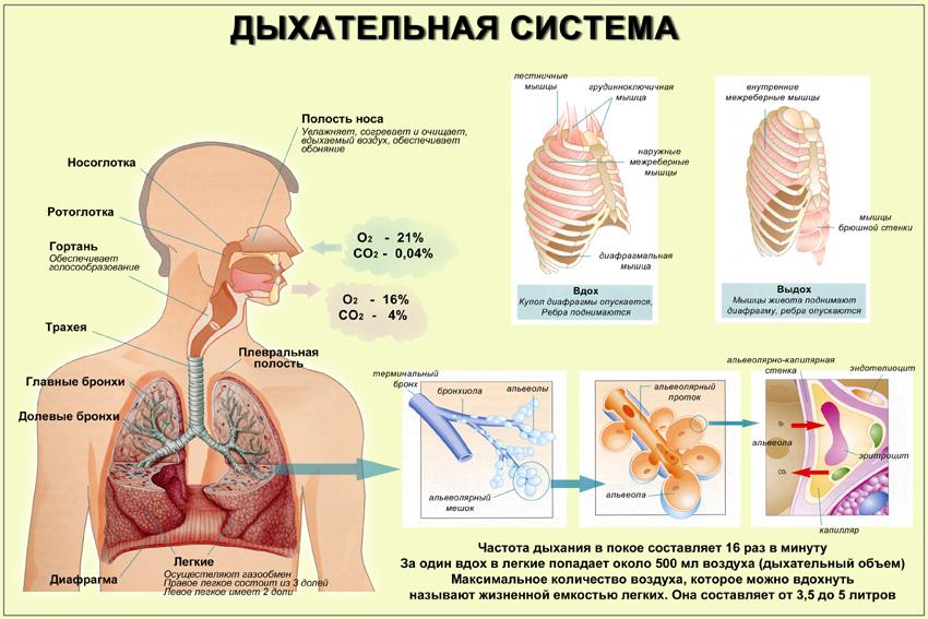Органы человека схема Анатомия строение человека
