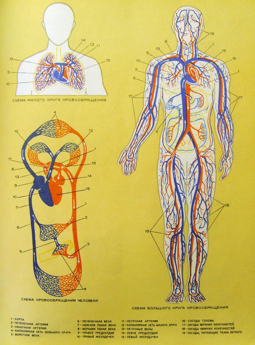 ...сложнее, но сейчас главное уловить суть: сердце путем сокращений проталкивает кровь по артериям и венам...