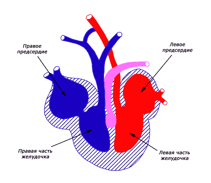 А это схема сердца…