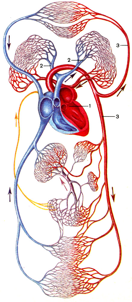 Кровеносная система Школа