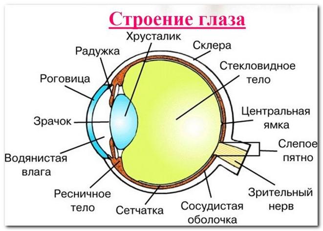 строение-глаза