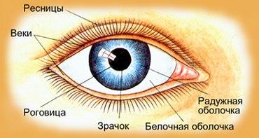 Какие мышцы глаз напряжены при близорукости