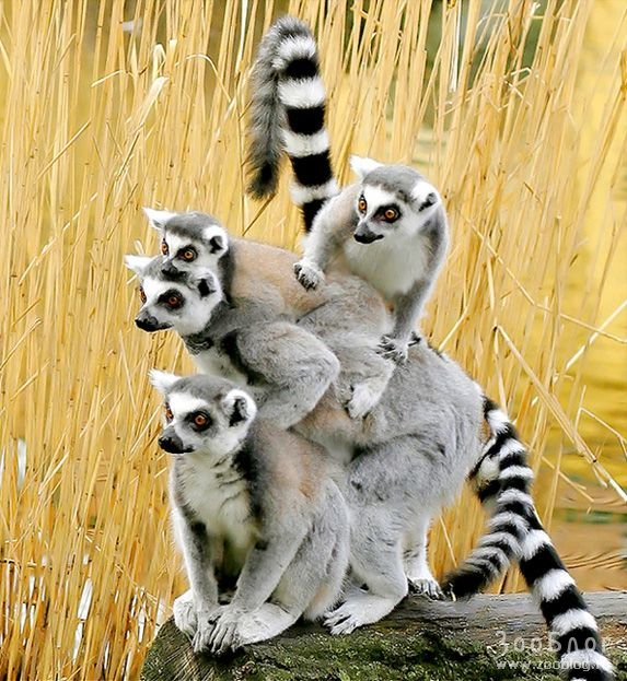 1369156648_lemur-fotos
