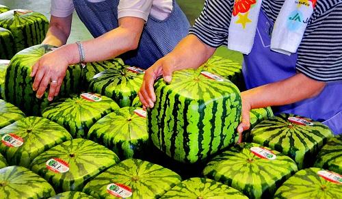 Japan Cubic Watermelons
