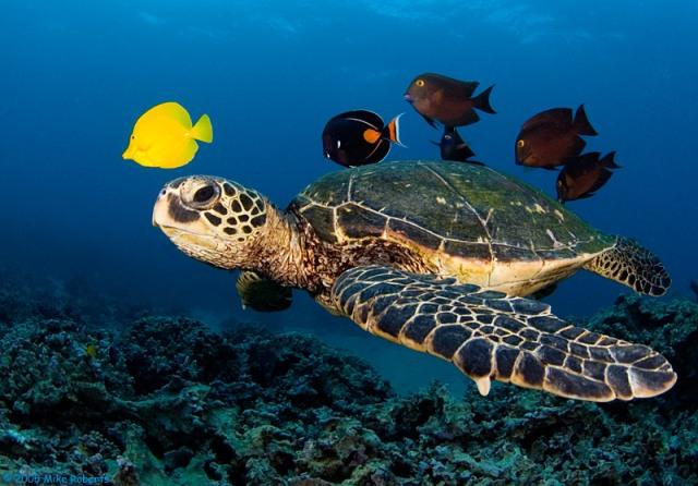 Мексика-морская-черепаха
