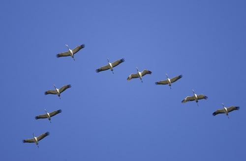 Cranes in Biebrza national park. Poland. Æóðàâëü DVD-052N