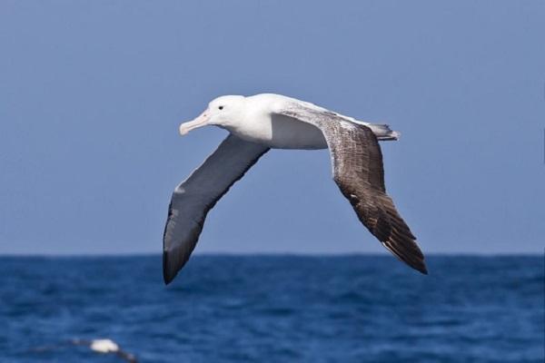 southern-royal-albatross